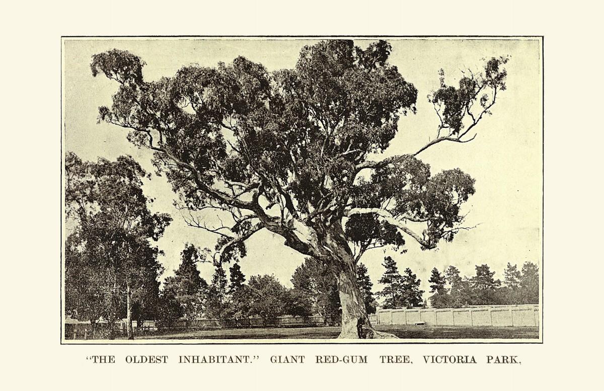'The Oldest Inhabitant' Giant redgum tree in Victoria Park. - Photo Source - Biostats